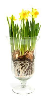 #maplantemonbonheur Planter Table, Planters, Pots, Narcisse, Daffodil Flower, Terrarium Plants, Plantation, Container Plants, Daffodils