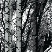 Plakfolie bos (berken bomen)