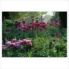 GAP Photos - Garden & Plant Picture Library - Spring border with Tulipa 'Blue Parrot', Allium 'Purple Sensation' and Nectaroscordum siculum subsp bulgaricum - Pettifers Garden, Oxfordshire - GAP Photos - Specialising in horticultural photography