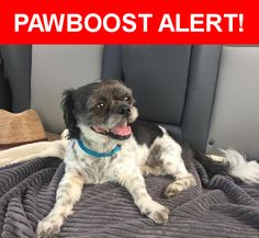 Is this your lost pet? Found in Kansas City, KS 66103. Please spread the word so we can find the owner!  Shih Tzu, recently groomed, blue collar, black with white patches that have spots. Older. Very sweet.  Near Mission Road, Kansas City, KS