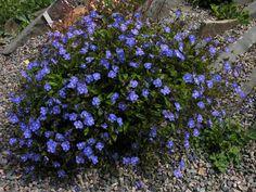 hanaipn | Rakuten Global Market: Veronica Oxford Blue 3-3, no. 5 perennial plant pot