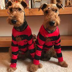 Airedale Moments( be featured From: By: Airedale Terrier, Irish Terrier, I Love Dogs, Cute Dogs, Wire Fox Terrier, Fox Terriers, Lakeland Terrier, Dogs And Puppies, Doggies