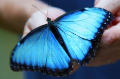The astonishing Blue Morpho can be observed during every stage of their life cycle at our Butterfly Exhibit. Learn more about these magnificent butterflies here: http://www.chaacreek.com/tours-activities/onsite/butterfly-farm/