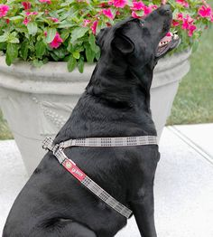 The #bakerharness is awesome!  Matches the rest of the #bakerdog line from #bakerblanket!  www.bakerblanket.com #barndog