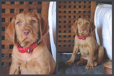 Nimrod - Hungarian Wirehaired Vizsla puppy