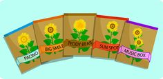 How to grow sunflowers in a pot. Use the music box variety