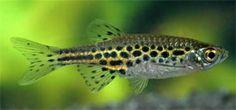Scientific name: Danio tinwini (Kullander & Fang; 2009) Synonyms: Danio sp. 'Myanmar', Danio sp. 'Burma', Danio sp. 'TW02' Common name: Gold...