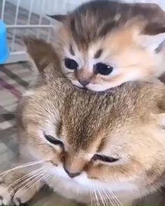 Animals Discover Lovely mom and baby - Katzen Cute Funny Animals Cute Baby Animals Animals And Pets Cute Dogs Funny Cats Cute Animal Videos Cute Animal Pictures Cute Cats And Kittens Kittens Cutest Cute Funny Animals, Cute Baby Animals, Animals And Pets, Cute Dogs, Funny Cats, Cute Cats And Kittens, Kittens Cutest, Kitty Cats, Beautiful Cats