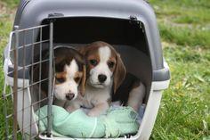 Image illustrant l'article La caisse de transport pour chien