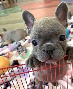 "Visit our internet site for more details on ""French bulldog pup"". It is an outstanding location to learn more. Cute French Bulldog, French Bulldog Puppies, Cute Dogs And Puppies, Baby Dogs, Doggies, Baby Beagle, Puppies Puppies, Retriever Puppies, Baby Animals Pictures"