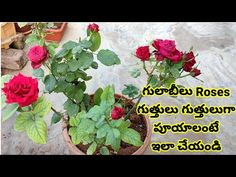 Rose Cuttings, Planting Roses, Telugu, Whitening, Kids Outfits, Girls Dresses, Gardening, Tips, Flowers