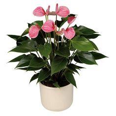 Rare Mixed Color Anthurium Bonsai Indoor Plant Bonsai Flower Bonsai DIY Balcony Flower Pots For The Garden Home Unusual Flowers, Rare Flowers, Flower Seeds, Flower Pots, Potted Plants, Indoor Plants, Potted Garden, Balcony Flowers, Saintpaulia
