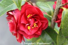 Camellia japonica Maroon and Gold