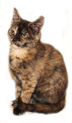 Honey, a 11 week old female tortoise shell, is looking for a home in Asheboro, NC.  She is extremely social.  Vaccinated and wormed.  This lovely rescue needs a Christmas home.  Cheryl at 336-653-3373.