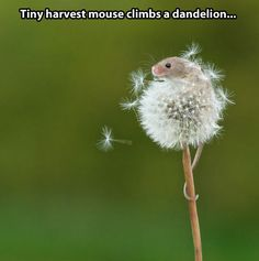 The mouse and the dandelion…