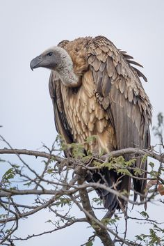 Vulture perched atop a tree looking out  for a potential meal in Tanzania. by #wildographer Jacques-Andre Dupont