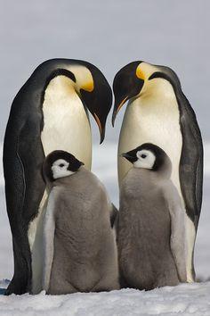 Emperor Penguins with chicks, Snow Hill rookery, Antarctic Peninsula / Paul & Paveena McKenzie