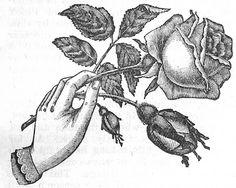 #rose #emphemera