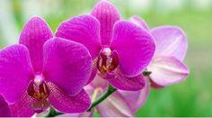Comment prendre soin d'une orchidée?