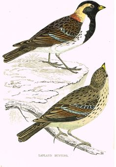 HAND-COLORED BIRD ENGRAVING This 146 year old hand-colored engraving print is from Reverand F.O. Morris's A HISTORY OF BRITISH BIRDS published in London by Groombridge and Sons in 1865. This print has