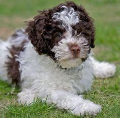 The Lagotto Romagnolo - so cute!Although I wouldn't be able to tell anyone what breed of dog I have.