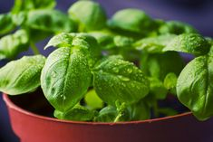 4 Tips For Growing Herbs Indoors During the Winter Season Herbal Remedies, Natural Remedies, Natural Treatments, Flu Remedies, Plants That Repel Flies, Comment Planter, Basil Plant, Raw Food Diet, Paleo Diet