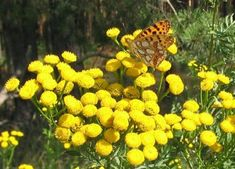 Tansy foliage has a spicy smell,with bright yellow button flowers that attract butterflies Flowers That Attract Butterflies, Squash Bugs, Cucumber Beetles, Japanese Beetles, Flowers Perennials, Companion Planting, Medicinal Herbs, Flower Seeds, Fruit Trees
