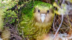 The kakapo, a critically endangered nocturnal, flightless parrot that lives in New Zealand. Flightless Parrot, Kakapo Parrot, Rare Animals, Animals And Pets, National Geographic, Parrot Facts, Cod Fish, Rare Birds, Cockatoo
