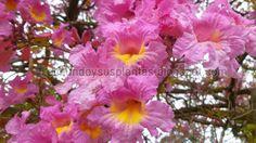 Resultado de imagen para flores de lapacho