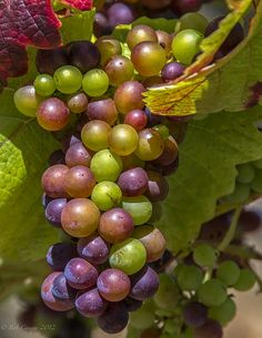 chatoyantstone:  chillypepperhothothot:  SELKIRK GRAPES by bcanepa_photos on Flickr.  ♥