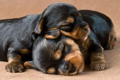 ZZzzzz...puppies napping.