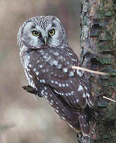 Boreal Owl (Aegolius funereus)  http://www.setbb.com/reikifoorumi/viewtopic.php?t=463==reikifoorumi