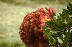Gallina Colorada Ponedora   Flickr - Photo Sharing!