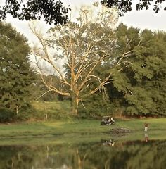 From den tree to rookery, a tree snag supports a unique ecosystem.: An Old Oak Tree Snag