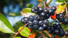 Bobule, které na první pohled vypadají jen jako obyčejný ptačí zob nebo černé jeřabiny, v sobě skrývají poklad. Udělejte z nich víno, sirup či džem.