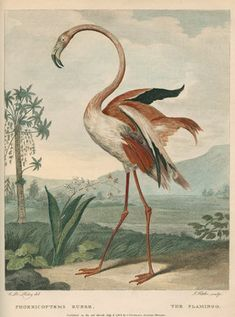 This stunning copperplate engraving of the flamingo was produced for George Shaw's book 'Museum Leverianum', 1792.