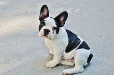 Average Puppy Price: $2,050 - Pixabay French Bulldog