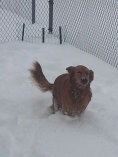 clyde cale, staunton 	 our golden retrieval lilly enjoying the snow. #WHSVsnow