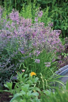 Allium Cernuum - Lady's Leek Bulbs for sale