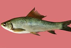 Fisch: Labeo gonius (Labeo gonius) | Fischlexikon Fish Art, Zine, Carp Fishing, Types Of Fish