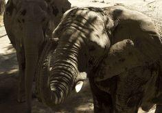Dos elefantes adultos, huéspedes del Zoológico de Guadalajara .