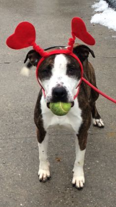 Brooklyn Center HENNY - A0956917 ***RETURNED 01/23/15***LEGAL HOLD FOR POSSIBLE CRUELTY / NEGLECT***RELEASED FROM LEGAL HOLD FOR PUBLIC ADOPTION. 02/01/15***EXPERIENCED HOME*** SPAYED FEMALE, BR BRINDLE / WHITE, AM PIT BULL TER MIX, 2 yrs, 2 mos OWNER SUR - ONHOLDHERE, HOLD FOR LEGAL Reason INAD FACIL Intake condition EXAM REQ Intake Date 01/23/2015 Main Thread: https://www.facebook.com/photo.php?fbid=949467408399472
