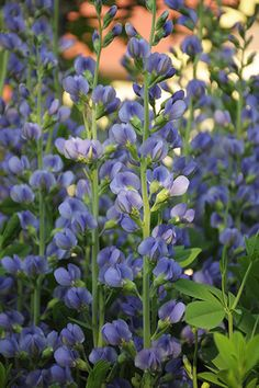 Blue False Indigo (Baptisia australis) is a show stopper in May with it's profusion of violet blue flower spikes. Obedient Plant, Baptisia Australis, English Garden Design, Plant Delivery, Weed Seeds, Fall Plants, Garden Plants, Flowers