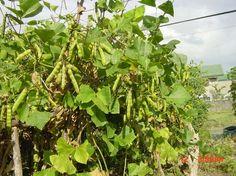 good information on growing jicama