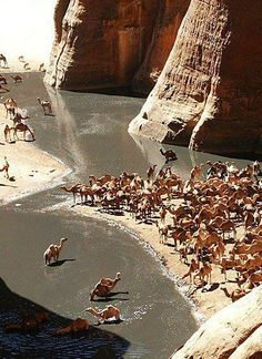 Camel bath - The Guelta dArchei is probably the most famous guelta in the Sahara. It is located in the Ennedi Plateau, in north-eastern Chad, south-east of the town of Fada.