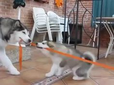 Sled doggos 'learning the ropes' http://ift.tt/2imQmah