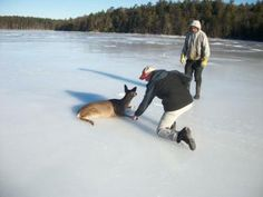 Yay! Two men rescue deer from iced-over Maine lake and help it to shore. Click on the image to read the story and see more photos.