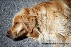 How to Prevent Overheating in Dogs | Heatstroke.  Overheating can cause your dog's agaonizin death within minutes - yet it's entirely avoidable.