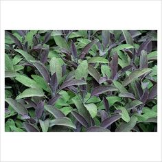 Salvia officinalis 'Purpurascens' - Purple Sage - good evergreen/grey foliage with purple flowers in summer much loved by bees Foliage, Plants, Purple Flowers, Garden Plants, Salvia Officinalis, Plant Pictures, Evergreen, Salvia, Garden