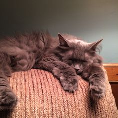 Tired Nebelung grey kitty